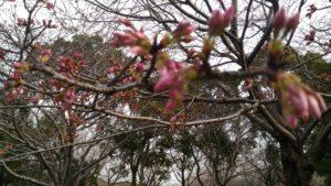 ピンボケの桜