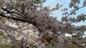 3月29日の桜(お昼)