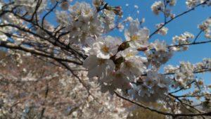 3月25日の桜