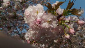 4月4日の桜(一葉)