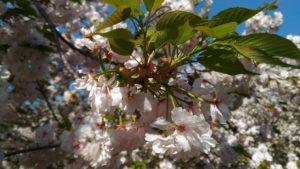 4月10日の桜(一葉)