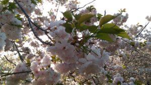 4月8日の桜(一葉)