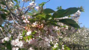 4月13日の桜(一葉)