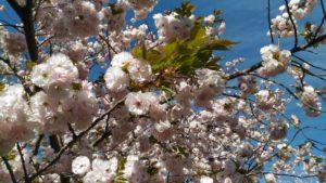 4月7日の桜(一葉)