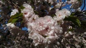 4月9日の桜(一葉)