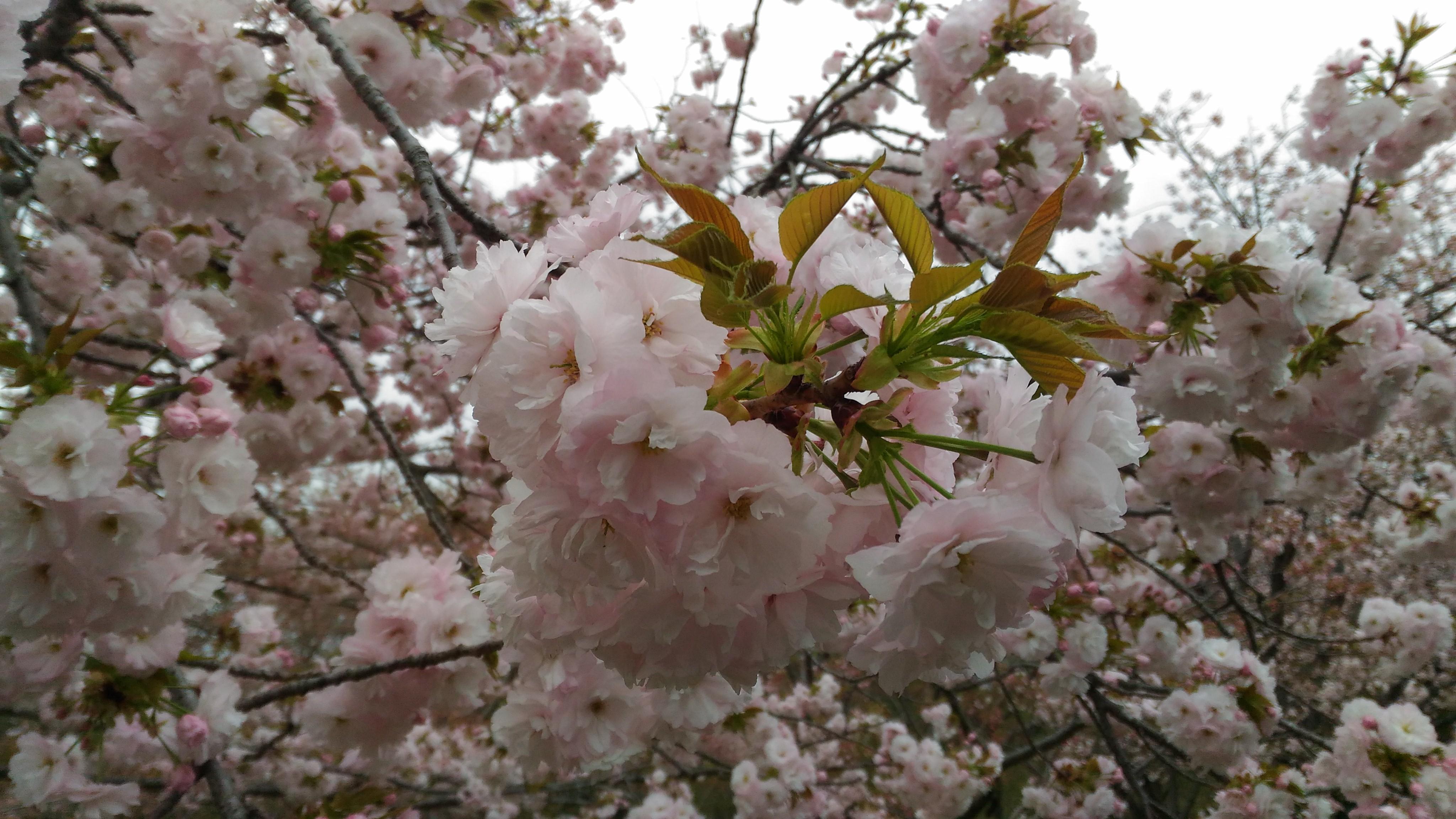 4月5日の桜(一葉)
