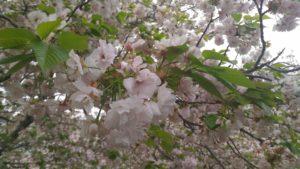 4月12日の桜(一葉)
