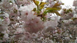 4月6日の桜(一葉)