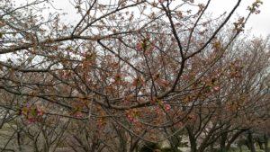昨年観察していた桜②