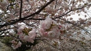桜(一葉)