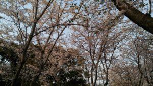 この木の下でお花見