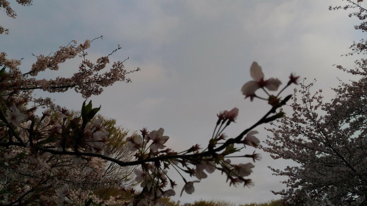 昨年観察していた桜①
