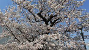 20210327桜